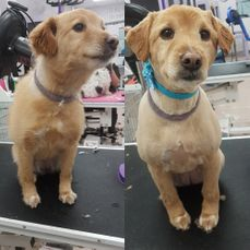 grooming dog before/after
